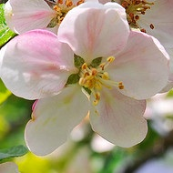 Apple Flower.jpg