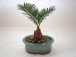 Sago Palm Bonsai.jpg