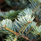Abies cephalonica.png