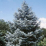 Abies concolor.png