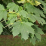 Acer platanoides.png