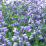 Baptisia 'Purple Smoke' .png