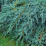 Blue Carpet Juniper.png