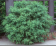 Buxus 'Wintergreen'.png