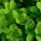 Buxus sempervirens 'Truetree'.png