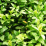 Buxus sempervirens .png