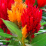 Celosia argenta.png