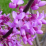 Cercis canadensis.png