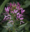 Cleome hassleriana.png