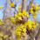 Cornus mas 'Golden Glory'.png