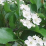 Crataegus viridis 'Winter King'.png