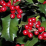 English holly, ilex aquifolium.png