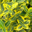 Euonymus fortunei 'Emerald 'N Gold'.png