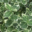 Euonymus fortunei 'Emerald Gaiety'.png