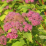 Goldflame Spirea.png