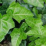 Hedera helix.png