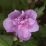 Hibiscus syriacus 'Ardens'.png