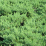 Juniperus conferta 'Blue Pacific'.png
