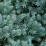Juniperus squamata 'Blue Star'.png