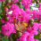 Lagerstroemia indica.png