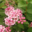 Little Princess Spirea.png