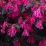 Loropetalum chinense.png