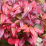 Nandina domestica 'Fire Power'.png