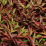 Nandina domestica 'Richmond'.png