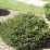Picea abies 'Pumila'.png