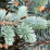 Picea pungens.png