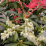 Pieris 'Forest Flame'.png