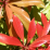 Pieris japonica 'Mountain Fire'.png