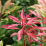 Pieris japonica 'Valley Fire'.png