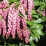 Pieris japonica 'Valley Rose'.png
