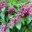 Pieris japonica 'Valley Valentine'.png