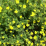 Potentilla fruticosa 'Gold Star'.png