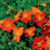 Potentilla fruticosa 'Red Sunset'.png