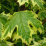 Variegated Norway Maple.png