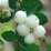White Snowberry.png