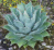 agave potatorum.png